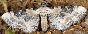 Eupithecia gratiosata 2B 3