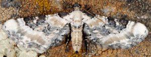 Eupithecia gratiosata 2B 4