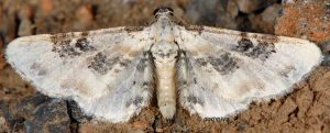 Eupithecia gratiosata 2B 6
