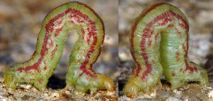 Eupithecia gratiosata L5 2B 3