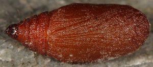 Eupithecia gratiosata chrysalide 2B 1