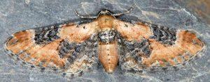 Eupithecia gueneata 05 1