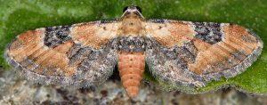 Eupithecia gueneata 06 1