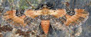 Eupithecia gueneata 06 2
