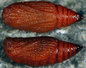 Eupithecia gueneata chrysalide 06 1