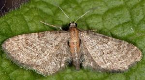 Eupithecia haworthiata 06 1