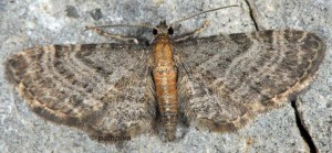 Eupithecia haworthiata 06 2