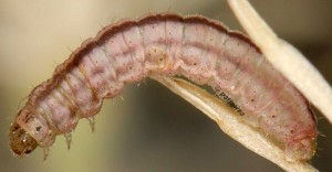 Eupithecia haworthiata L5 05 4