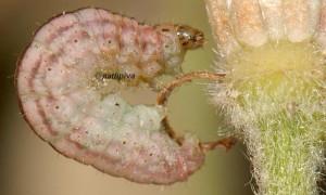 Eupithecia haworthiata L5 05 6