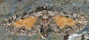 Eupithecia icterata 06 3