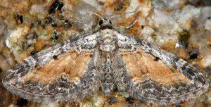 Eupithecia icterata 06 4