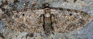 Eupithecia icterata 06 5