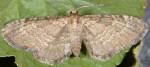 Eupithecia immundata 06 3