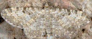 Eupithecia impurata 06 1