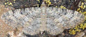 Eupithecia impurata 06 2