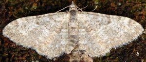 Eupithecia impurata 06 3