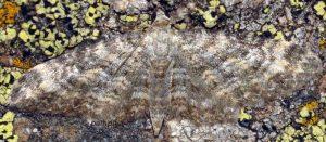 Eupithecia impurata 66 1