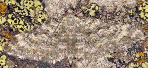 Eupithecia impurata 66 2
