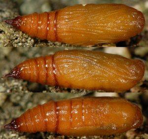 Eupithecia impurata chrysalide 06 1