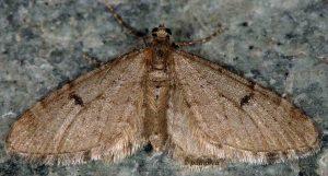 Eupithecia indigata 06 1