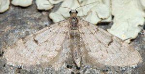 Eupithecia indigata 06 2