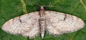 Eupithecia indigata 06 3