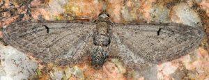 Eupithecia innotata 06 1