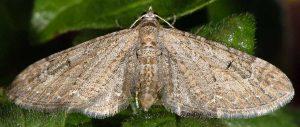 Eupithecia innotata 06 2