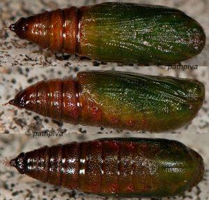 Eupithecia innotata
