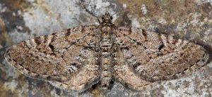Eupithecia intricata 05 1