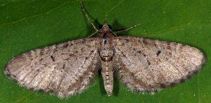Eupithecia intricata 06 1