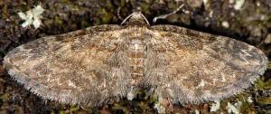 Eupithecia inturbata 06 1