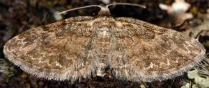 Eupithecia inturbata 06 2