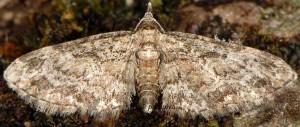 Eupithecia inturbata 06 3