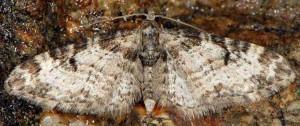 Eupithecia irriguata 06 1