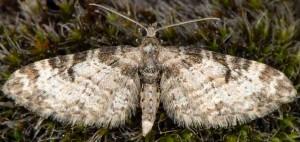 Eupithecia irriguata 06 2