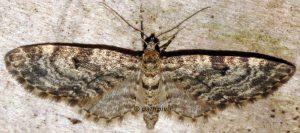 Eupithecia lariciata 06 1
