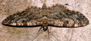 Eupithecia lariciata 06 2