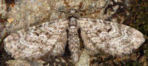 Eupithecia lariciata 06 3