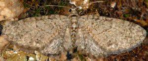 Eupithecia lentiscata 2A 1