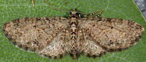 Eupithecia lentiscata 2A 2
