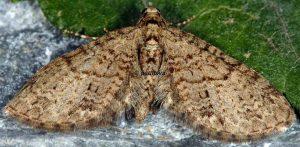 Eupithecia lentiscata 2A 4