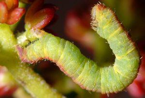 Eupithecia lentiscata L5 2A 2