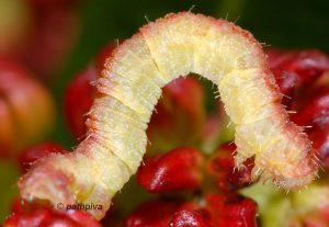 Eupithecia lentiscata L5 2A 4