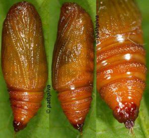Eupithecia lentiscata chrysalide 2A 1