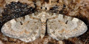 Eupithecia liguriata 06 1