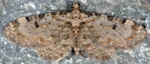 Eupithecia liguriata 06 2