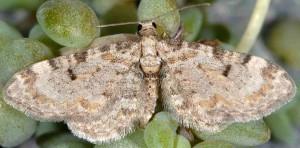 Eupithecia liguriata 06 3