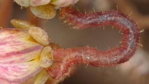 Eupithecia liguriata L3 48 1