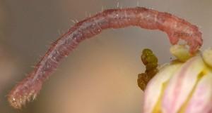 Eupithecia liguriata L3 48 2